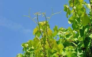 Bachbloesem vine of wijnstok