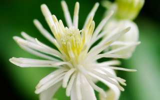 Bachbloesem clematis of bosrank