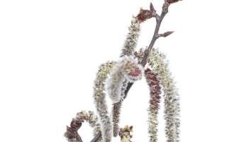 Bachbloesem aspen of ratelpopulier